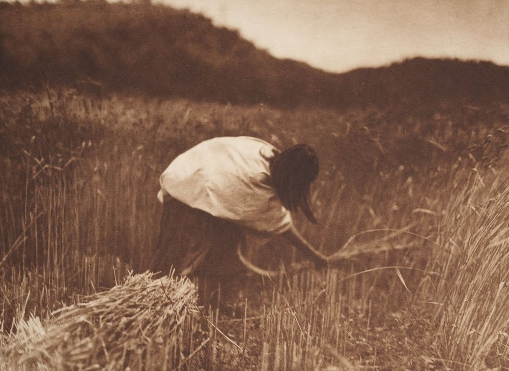 An Apache woman reaps grain,  c. 1910.  ©EDWARD S. CURTIS/SMITHSONIAN INSTITUTION