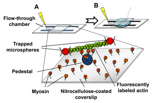 46.  Roman H.N., Juncker D., and Lauzon A.M.,   A Microfluidic Chamber to Study the Dynamics of Muscle Contraction Specific Molecular Interactions,   Analytical Chemistry, 87, 2582–2587 (2015) .   PDF