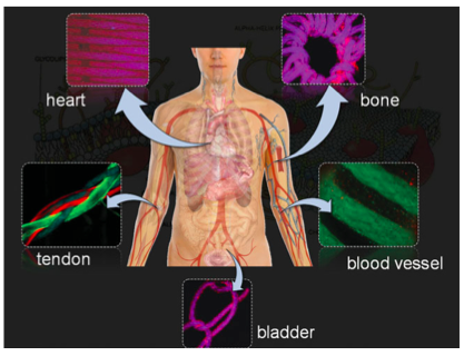 42.  Akbari M., Tamayol A., Laforte V., Annabi N., Najafabadi A.H.,Khademhosseini A., and Juncker D.,  Composite Living Fibers for Creating Tissue Constructs Using Textile Techniques  ,Advanced Functional Materials,24, 4060–4067 (2014).    PDF  |  SI