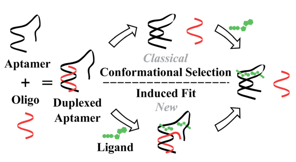 61.  J.D. Munzar, A. Ng , M. Corrado and D. Juncker,   Complementary Oligonucleotides Regulate Induced Fit Ligand Binding in Duplexed Aptamers  , Chemical Science, 2017, 8, 2251-2256.   PDF  |  SI