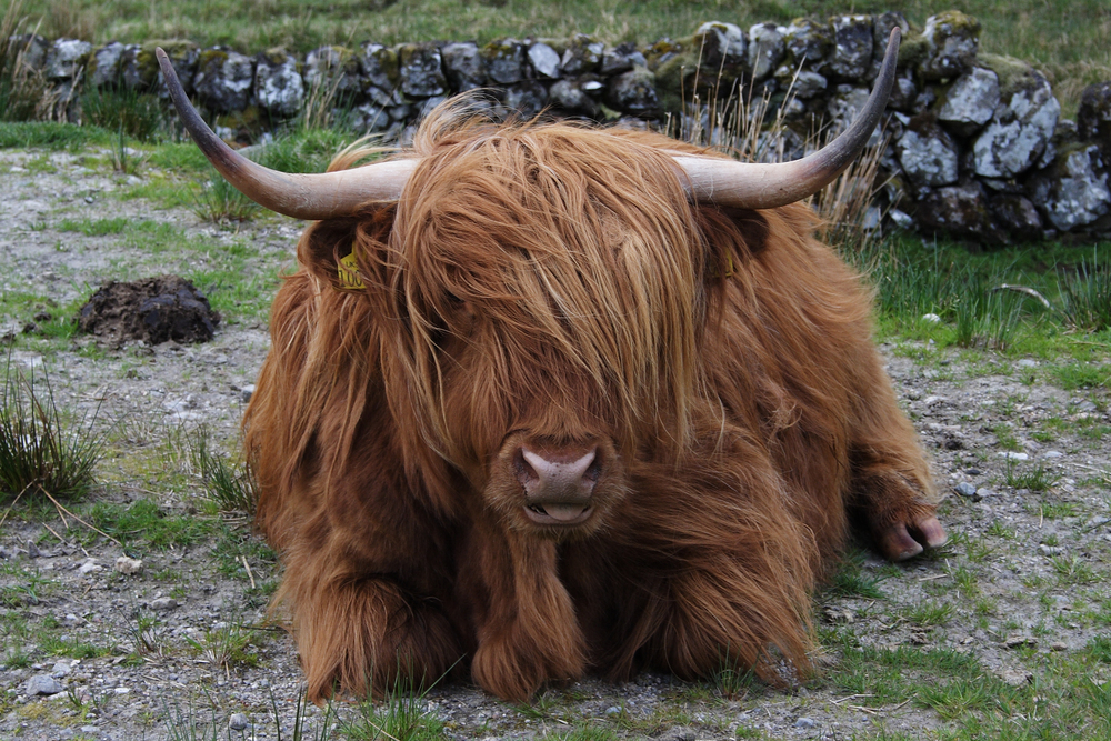 """Highland cattle, also known as """"fluffy cows""""."""