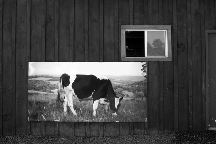 Levitas Cow