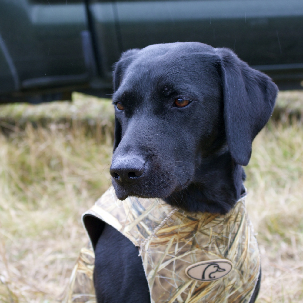 Jess eagerly waits to get some retrieves on a rainy morning duck hunt in NY.