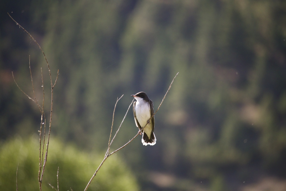 eastern kingbird on the mighty mo