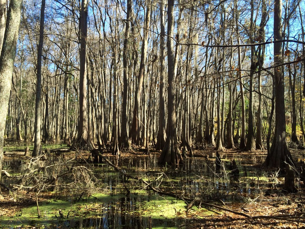 Searching for gators in the swamp