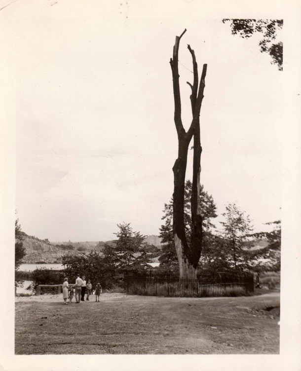 Tulip tree with Spuyten Duyvil Creek in background, photographed on August 4, 1938– a few months before it would fall in December 1938. From the WPA photographs collection.