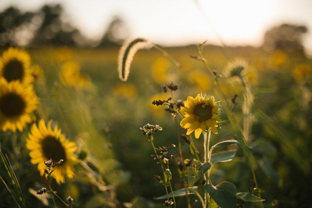 2018.07.25_Williams_SunflowerMini_Starks-0002.jpg