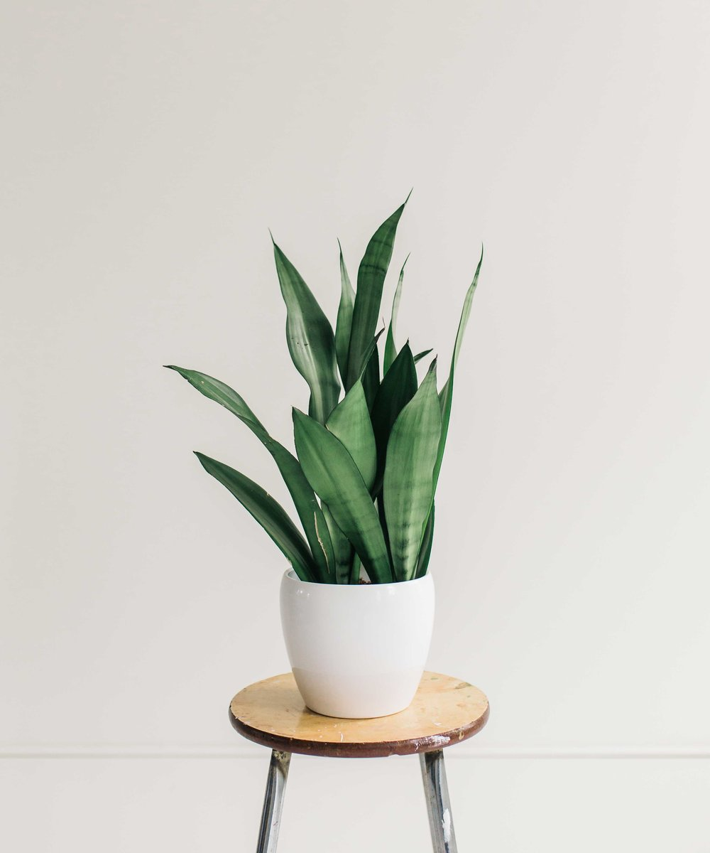 Snake Plant - The Best Air Cleansing Plants for Home. By Swell Made Co. Photo by Chantelle Watt Photography.