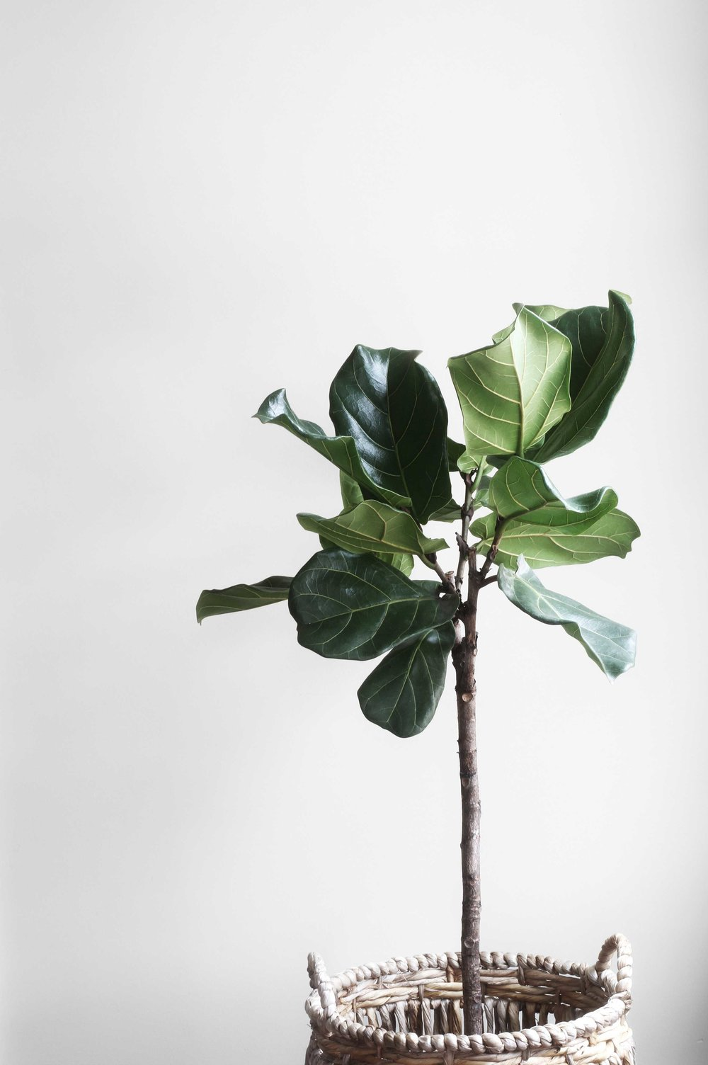 Fiddle Leaf Fig Plant (#plantgoals). The Best Air Cleansing Plants for Home. By Swell Made Co. Photo by Lauren Mancke.