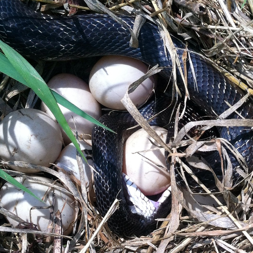 Snake vs. goose egg. Remember to watch your step.
