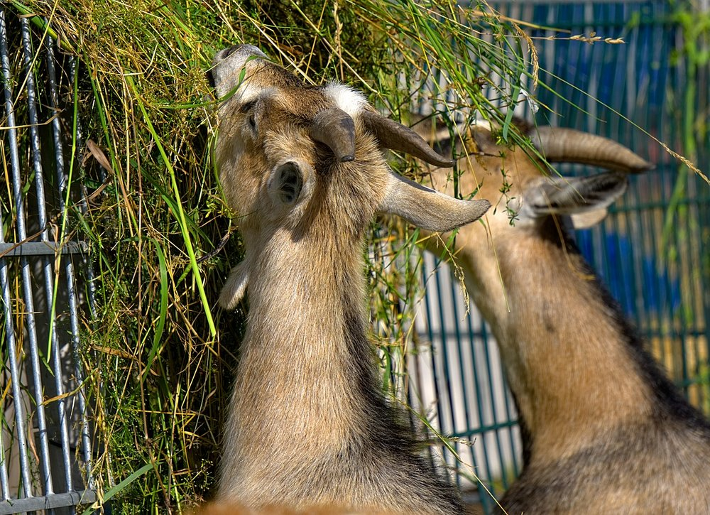 Eat-Petting-Zoo-Food-Zoo-Goat-Goats-Grass-2452118.jpg
