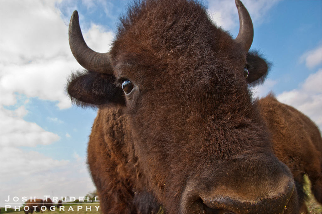 joshtrudell.com; photography; photos; pictures; art; bison; park; Texas; San Angelo State Park; close-up; closeup; big; bison