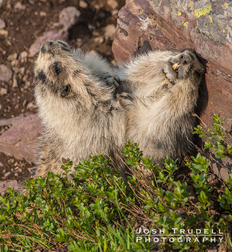 Trudell---Marmots