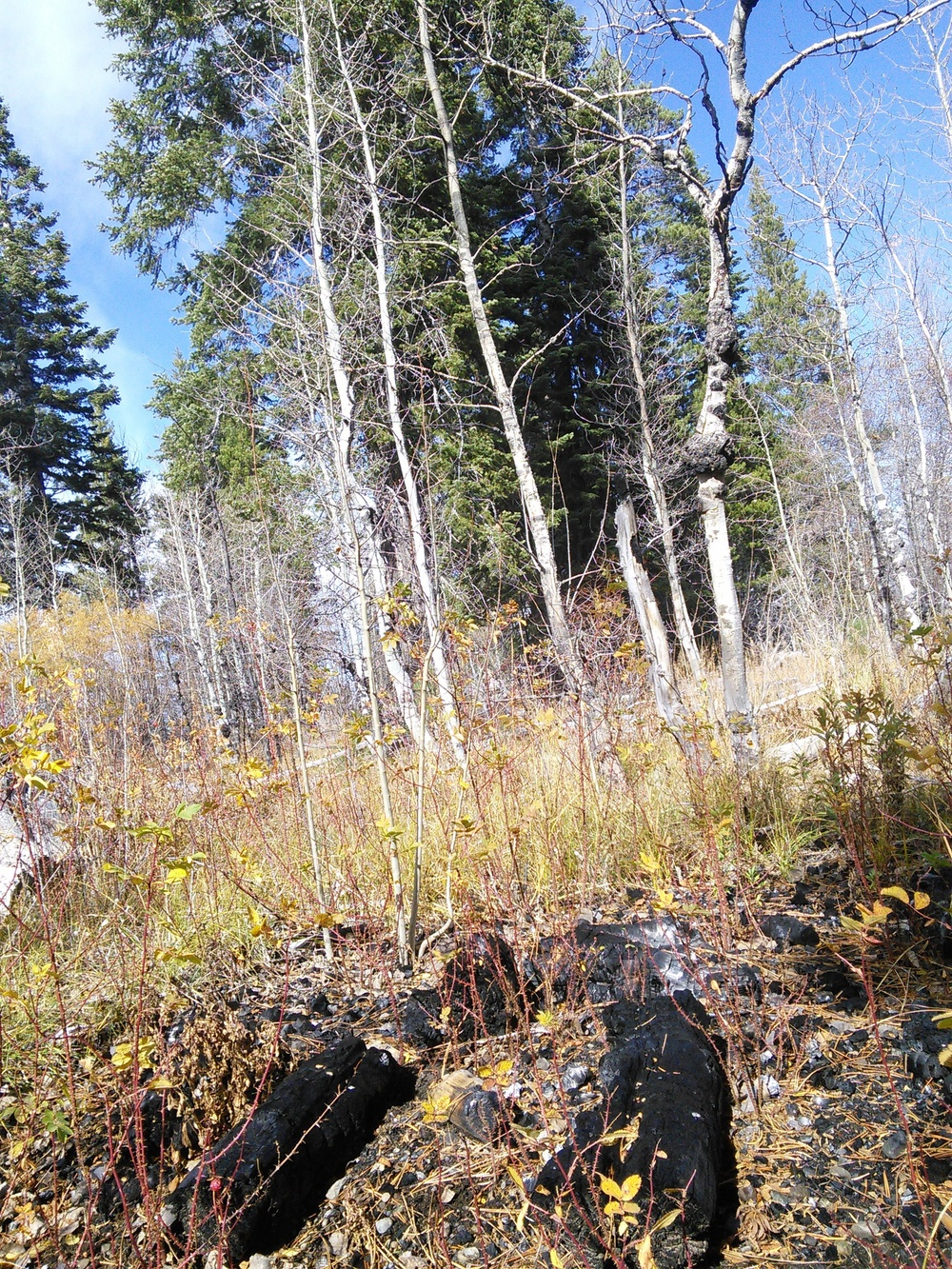 A pile burn in the newly restored aspen stand