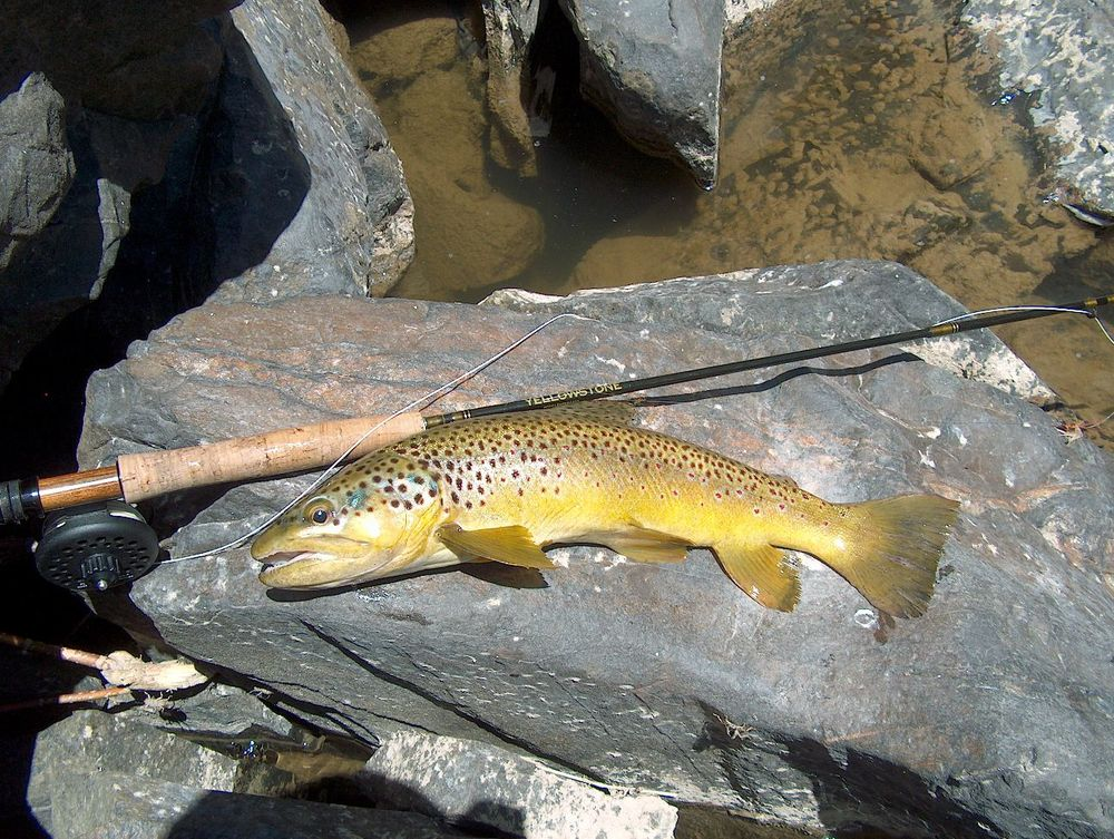 Arkansas River Brown Trout