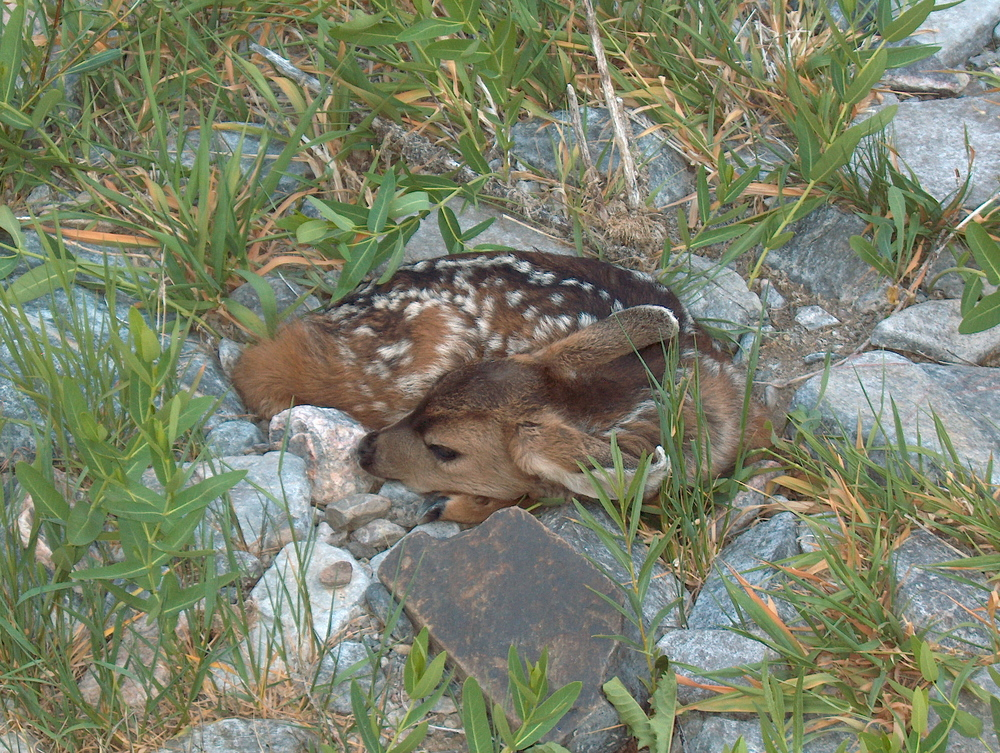 Black Canyon of the Gunnison Fawn