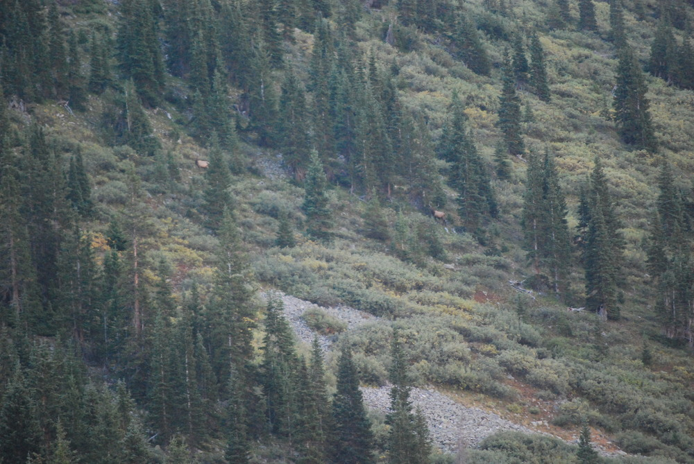 Find the Bull Elk