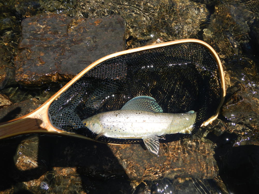 High Mountain Lake Grayling