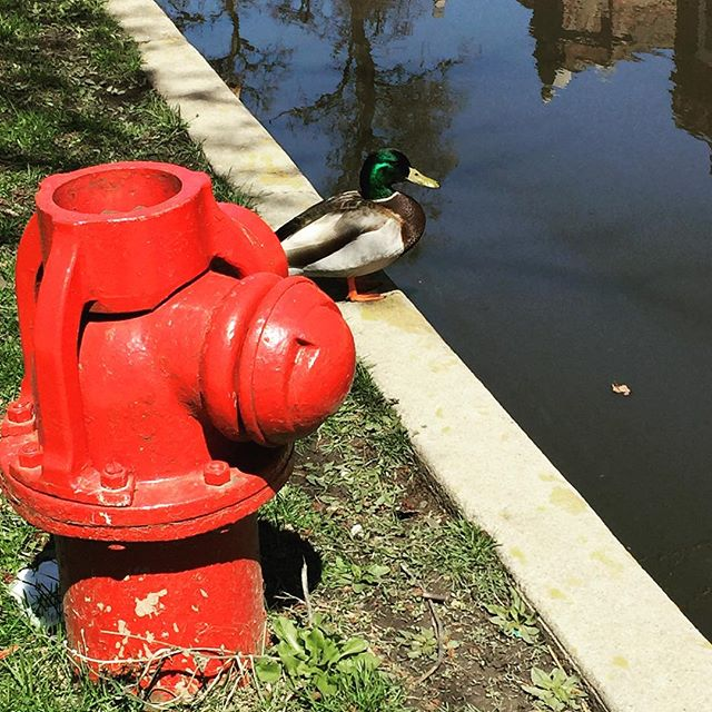 Hmm this guy clearly made a wrong left turn at Alberquerque. #mallard #cityducks