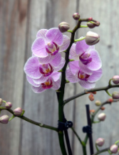 ORCHIDS     WHAT THEY MEAN:  Luxury    GIVE THEM TO:  Anyone under the age of 10 with their own iPad