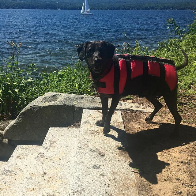 Feeling none of the humiliation a dog in a life jacket should. #tbt #labsofinstagram  #instadogs #dogsofinstagram