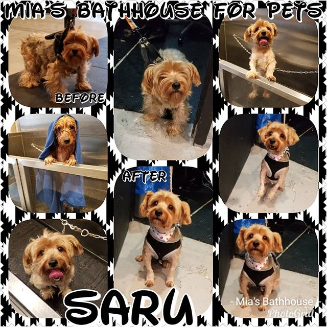 Pet parents give a warm welcome to our buddy Saru! This cutie pie stopped by Mia's to indulge in our Winter Grooming Special by Chaki where mom and dad were able to save a few bucks on his grooming service! Now Saru feels Pawsome and he's ready to step in the New Year with his right paw forward! Call today to inquire about our Winter Grooming Special! (212)694-8607 #doggrooming #groomingsalon #wintergrooming #yorkie #yorkielife #yorkieswag #yorkiesofinstagram #yorkies #yorkielove #yorkielovers #yorkielover #yorkienation #yorkiefeature #dogs #doglover #dogphotography #dogsofinstagram #dogsofinsta #pets #petstagram #petsofinstagram #winter #winterspecial #deals #sale #specials #nyc #harlem #miasbathhouse