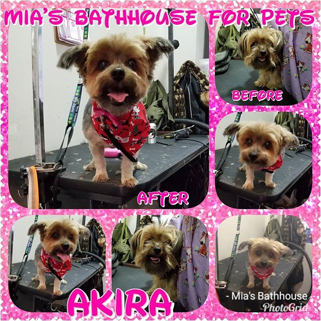 Welcome to Mia's Bathhouse Akira! This was this little ladies first time joining us and we had a blast! Akira brought so much joy, energy, and sass to the shop, everyone loved her! Akira received Full Service grooming by Chaki and indulged in our Winter Grooming Special where we were able to save mommy a few bucks! Now Akira looks & feels fabulous, she's ready to show off her new look as she struts down the streets of Harlem! Set a grooming appointment for your furry friend today! (212)694-8607 #groomingsalon #doggrooming #dogwash #yorkie #yorkies #yorkiemoms #yorkieswag #yorkienation #yorkiesofharlem #yorkiesofinstagram #yorkielife #yorkiesofig #yorkieofficial #yorkieoftheday #dogs #dogsofficialdog #dogsofinsta #dogsofinstagram #pets #petstagram #petsofinstagram #wintergrooming #special #deals #savings #harlem #nyc #miasbathhouse