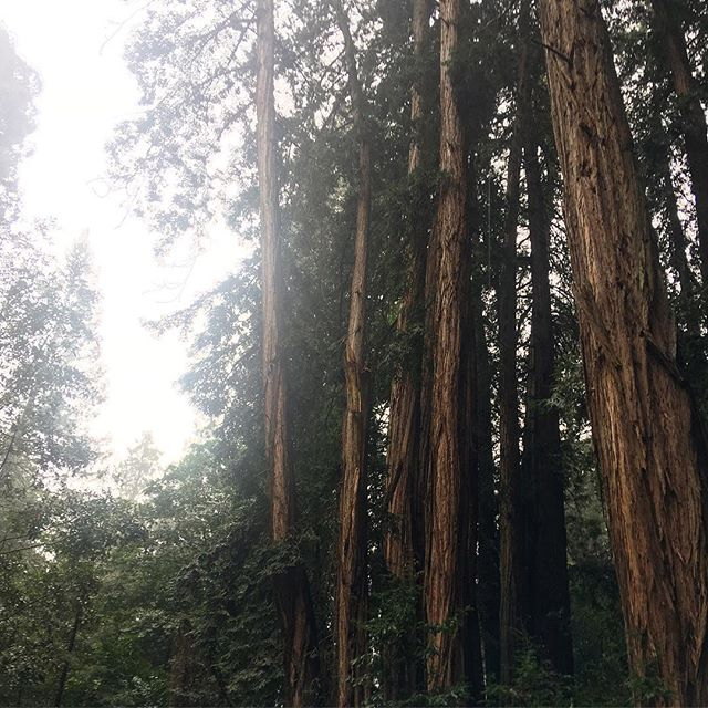 Even on a rainy day Muir Woods takes your breath away 🌲