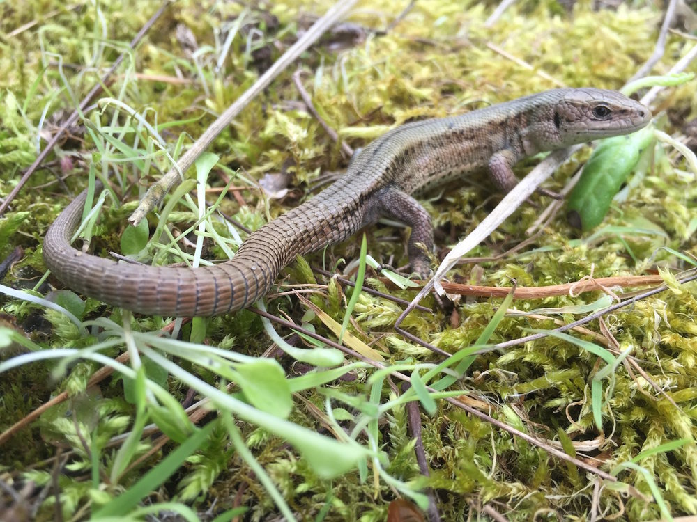 Common lizard