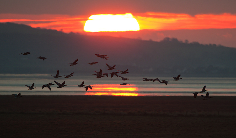 Barnacle geese sunset