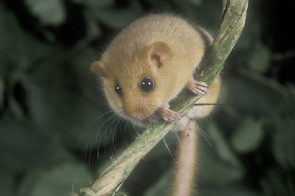 Hazel+dormouse.jpeg