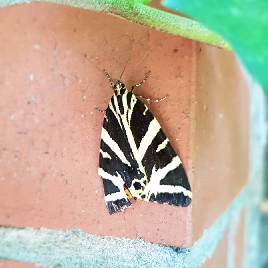 BAM! Look at that stunning moth (Jersey tiger,  Euplagia quadripunctaria ).