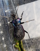 Carabus violaceus , sometimes called the violet ground beetle.