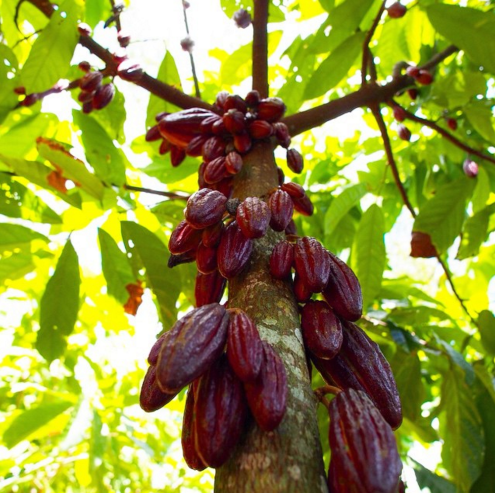 Theobroma Cacao, the tree name means Food of the Gods!