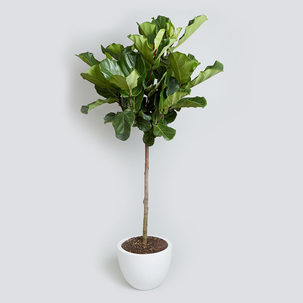 Fiddle_Leaf_Fig_5_7_foot_10240_1024x1024.jpg