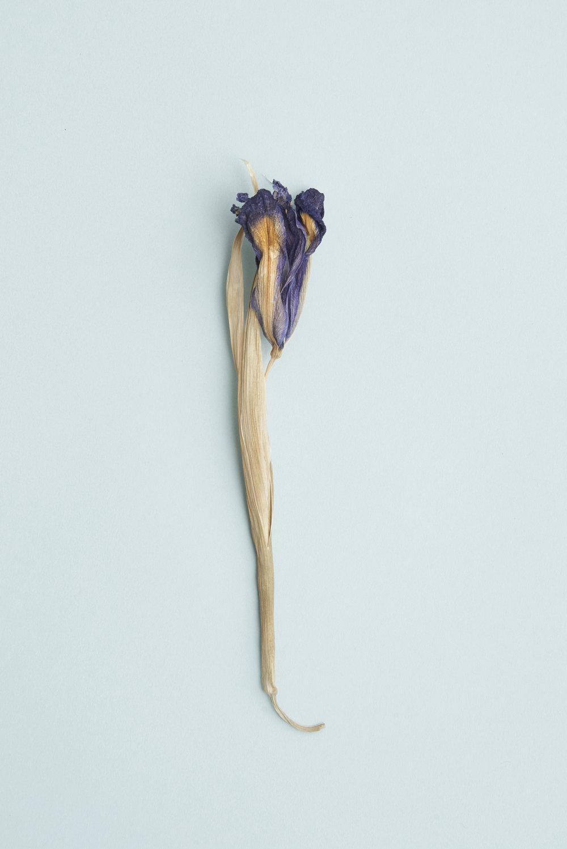 Vita Collection Still Life Botanicals Iris