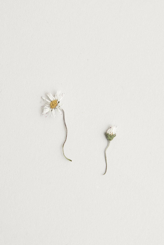 Vita Collection Still Life Botanical Daisy
