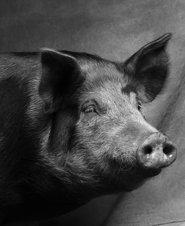 1_1_Pig2-042 1.jpg