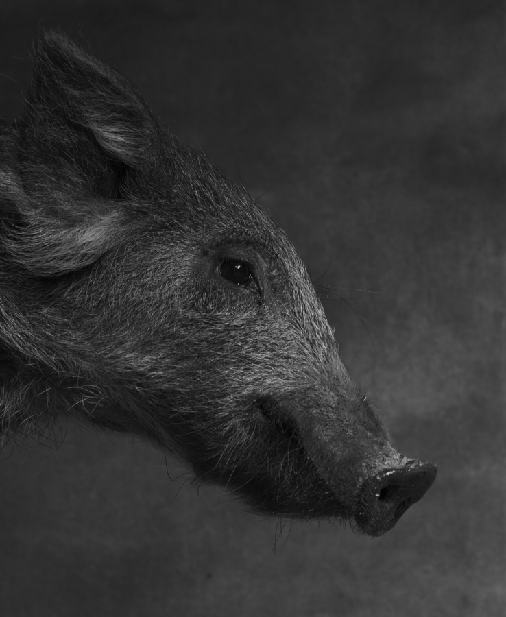 1_1_Pig4-070.jpg