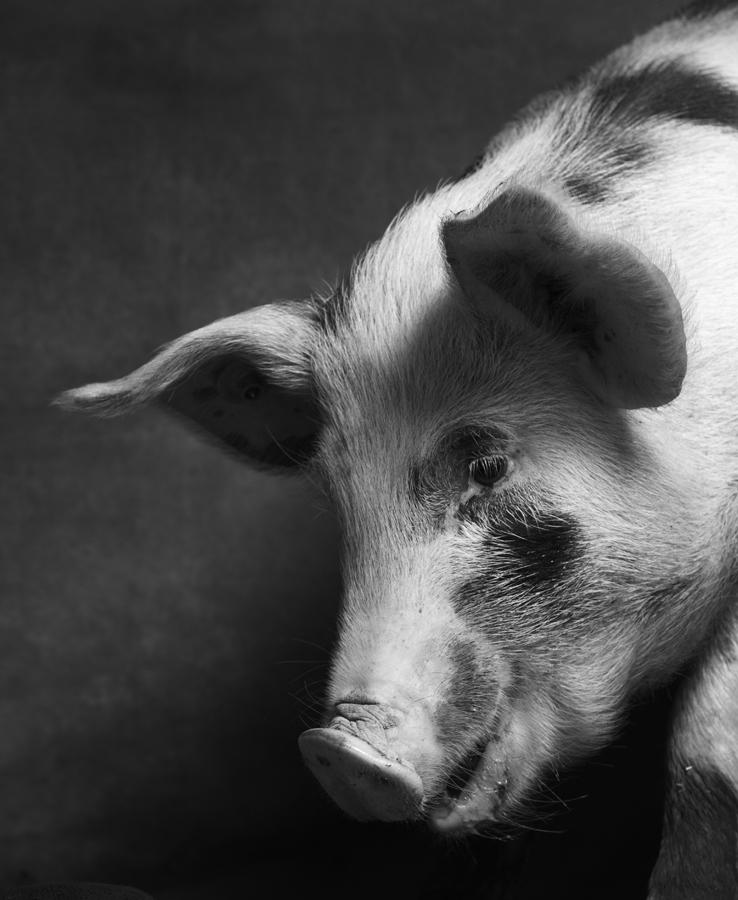1_2_Pigs-192.jpg
