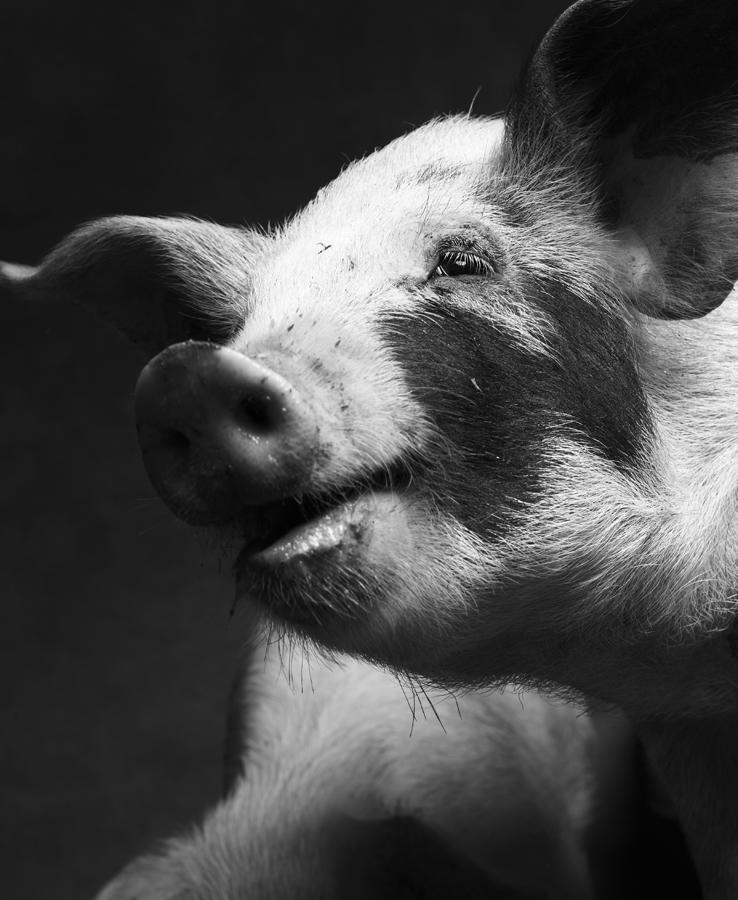 1_2_Pigs-288.jpg
