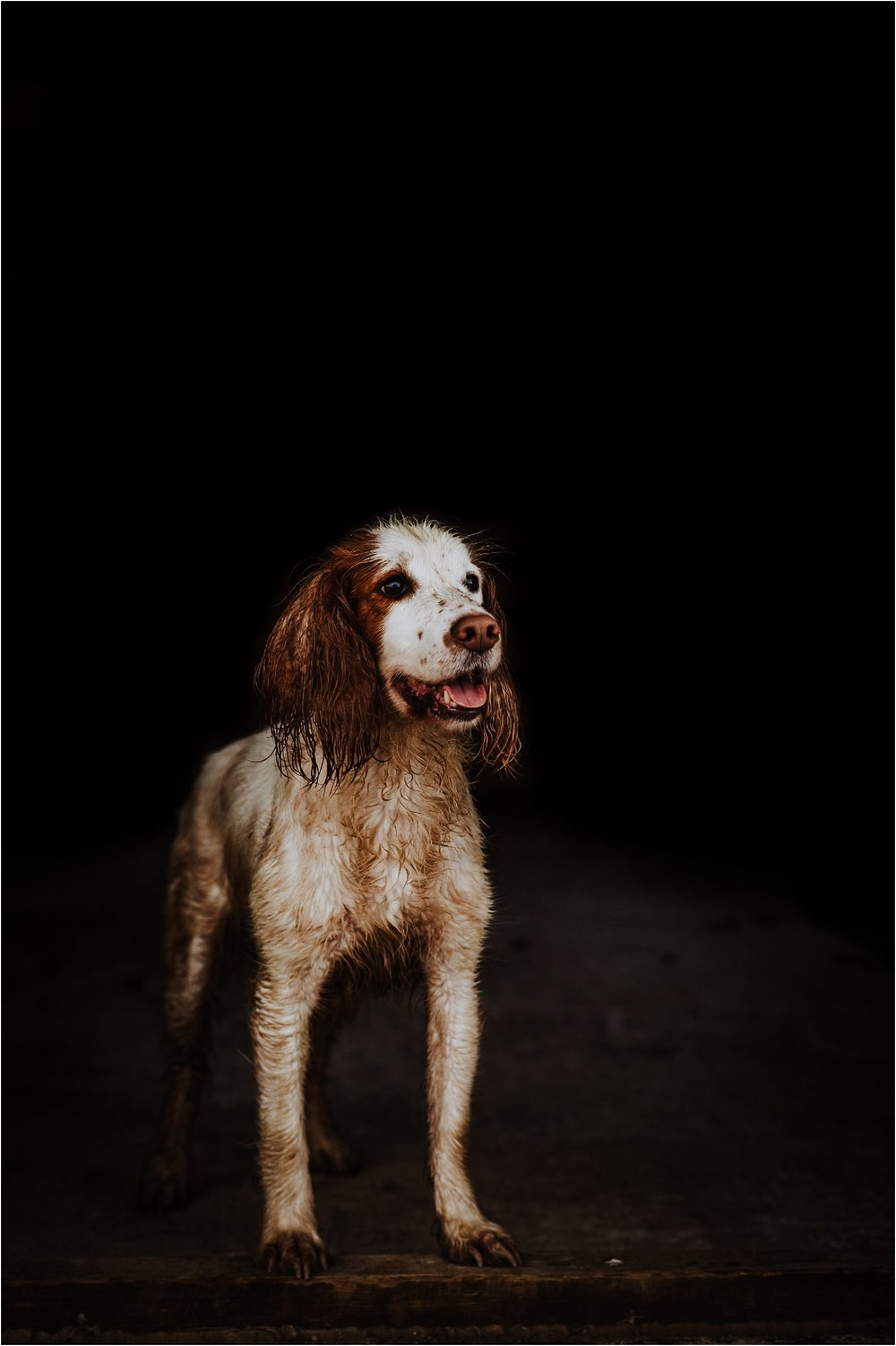 working cocker spaniel photos