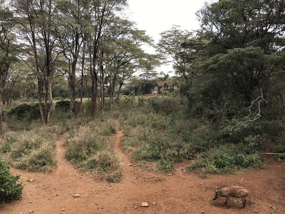 Warthog in foreground, Giraffe Manor in background