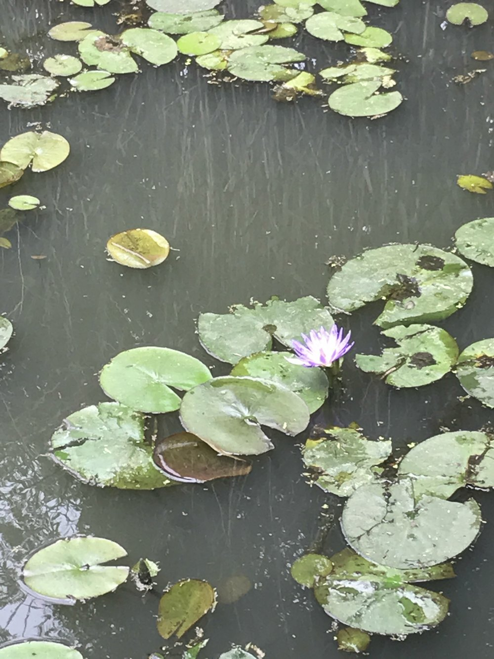Lily pads at the entrance