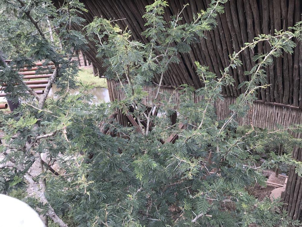 Acacia tree thorns are like toothpicks!