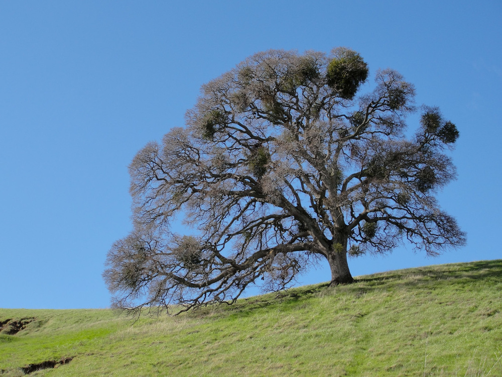 A mature Valley Oak will use less water annually than an average suburban lawn.