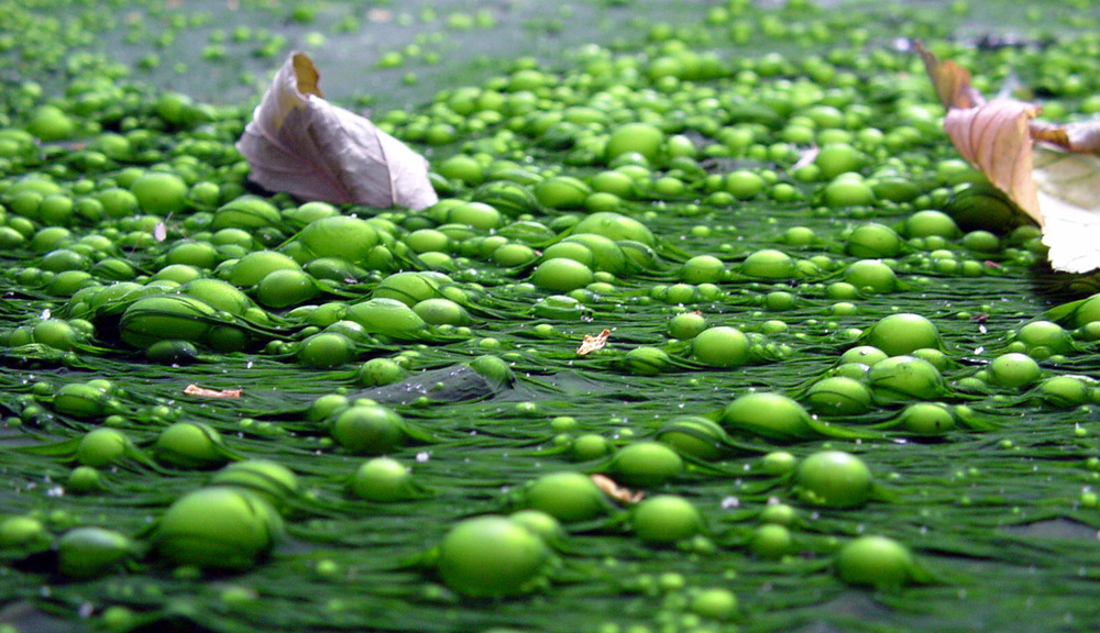 An algal bloom caused by eutrophication off San Diego.
