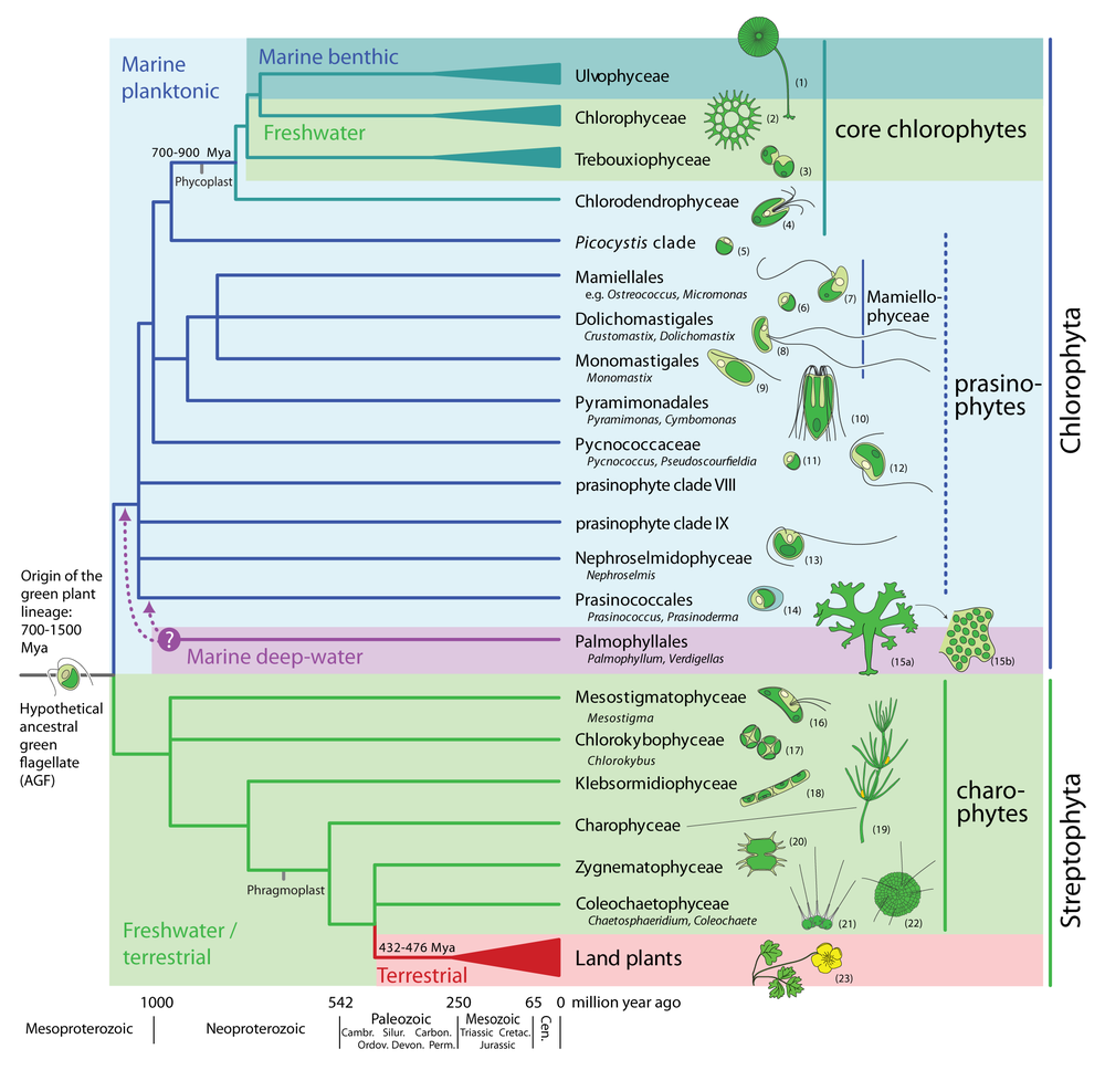 From:    Leliaert F.  et al  (2011)  Into the deep: New discoveries at the base of the green plant phylogeny