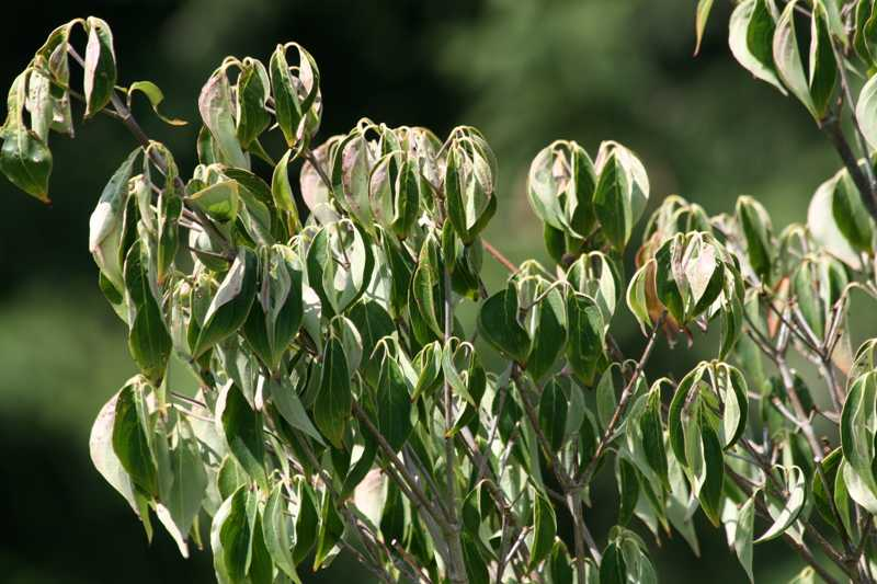 Wilting is in part caused by a lack of tugor pressure as the leaves lose water.