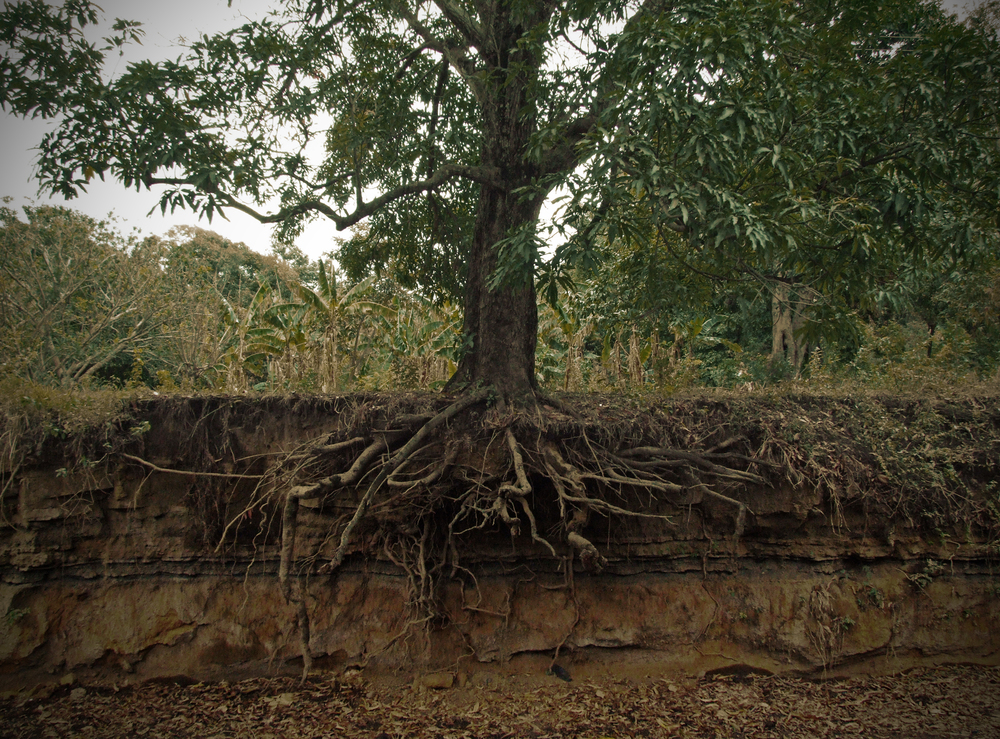 The root system is like the unseen part of an iceberg. It extends deeper and wider than the visible portion of the tree.